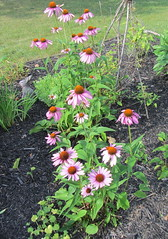 In Bloom: Echinacea (Foxy Belle) Tags: pink plant flower outside backyard echinacea cone 5 zone perennial