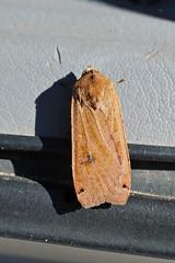 DSC_0098 (urmas ojango) Tags: lepidoptera liblikalised insecta insects putukad moth öölased noctuidae nationalmothweek
