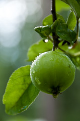 DSC_5760 (Karazu) Tags: plant green apple water digital leaf nikon dof bokeh drop waterdroplet d300s