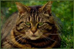 A Lady ? (FocusPocus Photography) Tags: portrait cute green tongue lady cat canon feline chat bokeh tabby kitty gato gata katze grn cleo zunge getigert catitude tigerkatze 60d kissablekat bestofcats kittyschoice catmoments