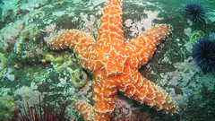 Ochre Star (Ed Bierman) Tags: scuba diving marinelife anacapa divingtrips ncrd northerncaliforniarainbowdivers gaydiving californiamarinelife