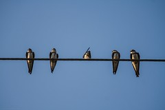 Chit Chat (icemanphotos) Tags: sky bird up birds canon eos 350d wire hungary view air country iceman wired swallow icemanphotos