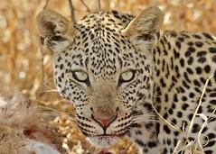 Leopard (Baractus) Tags: john leopard botswana oates centralkalaharigamereserve kalahariplainscamp