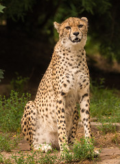 Gepard  (Acinonyx jubatus) (Nature_77) Tags: animal tier katze raubtier felidae zoolandau