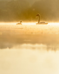 Adoration (Photography by Tosh) Tags: peaceful tranquility tranquil cygnet swan eastanglia norfolk norwich birds broad dawn greatbritain lake martintosh morning nikon norfolkbroads outdoors photography sunrise uk water waterfowl whitlingham trowsenewton england unitedkingdom gb