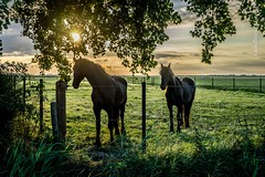 Horses in the morning (Ren Maly) Tags: renmaly horse arabofries frisian sunrise