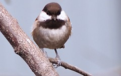 Birdwatching 20140925 (caligula1995) Tags: 2014 chickadee plumtree tumblr