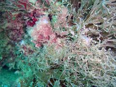DurlBay 7 encrusting sea squirt (bloomspix) Tags: seasearch underwater englishchannel swanage
