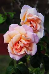 DSC_5573 (PeaTJay) Tags: nikond300s sigma reading lowerearley berkshire macro micro closeups gardens outdoors nature flora fauna plants flowers rose roses rosebuds