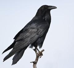 A Utah Raven (rivadock4) Tags: canyon lands mesa arch raven utah canyonlands mesaarch