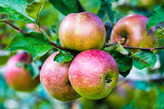 Kurz vor der Ernte - just before harvesting (ralfkai41) Tags: appletree bokeh baum tree pfel closeup garten pflanze apple fruits garden frchte natur