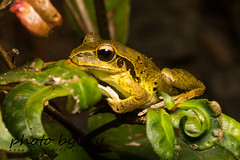 stoney creek frog - male (litoria junnguy) (peter soltys) Tags: petersoltys photography macro macrophotography adventure photobycy herping amphibia frog stoneycreekfrog male litoriajunnguy litoria