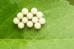 MMB_6471 (mmariomm) Tags: eggs insects larva arrange position shape macro