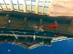 koi fish pond with restaurant reflection (Ryuu) Tags: koi fish koifish reflection water pond wooden building restaurant cafe windows blue sky reflecting surface floating petals animals fishes swimming reflections flowers goldfish redfish colorful roof architecture