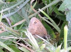 Gatekeeper (deannewildsmith) Tags: earthnaturelife butterfly fradley