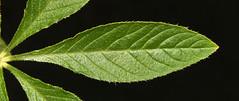Spider plant (Cleome hassleriana) juvenile leaf (shadowshador) Tags: spider plant cleome hassleriana leaf juvenile