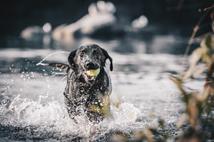 Bodie in the Water (lisavphotog) Tags: folsomlake labrador dogphotographer horsephotographer labradorretriever