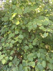 2016-08-14 at 12-17-43 (Mollivan Jon) Tags: redcliffs kawakawa taxonomy:family=piperaceae barnettpark miscellaneouskeywords cultivated naturewatchnz observationaddedtonaturewatchnz piperexcelsum mollivan photowithassociateddata taxonomy:kingdom=plantae canterbury taxonomy:common=kawakawa places species southisland newzealand christchurch taxonomy:genus=piper taxonomy:binomial=piperexcelsum iphonesebackcamera415mmf22