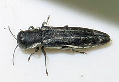 Twolined Chestnut Borer, Agrilus bilineatus, Bayshore, NY (Seth Ausubel) Tags: coleoptera buprestidae