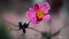 _DSC0178-Modifier.jpg (xpressx) Tags: bokeh 50mm nikon flowers passionphotonikon fleurs nd4 18 parc photographe lightroom nikond5000 nd8 nikkor flore d5000