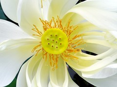 LOTUS / SACRED LOTUS / INDIAN LOTUS   #12 (3Point141) Tags: 3point141 florida usa mountsbotanicalgarden westpalmbeach lotus sacredlotus indianlotus whitelotus nelumbonucifera nelumbonaceae