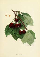 n180_w1150 (BioDivLibrary) Tags: fruitculture newyorkstate prunuscerasus rosaceae newyorkbotanicalgardenluesthertmertzlibrary bhl:page=15335953 dc:identifier=httpbiodiversitylibraryorgpage15335953