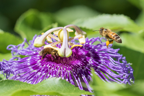 Honey Bees on Passion Flower