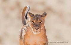 Wild thing.... (Gowild@freeuk.com) Tags: lion lioness wild wildlife nature outdoor mammal cat bigcat hunter predator sand desert kalahari kgalagaditransfrontier nationalpark reserve andrewmarshall nikon d800e photography africa southafrica
