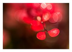 Miss Scarlet returns (judi may) Tags: red plant sliderssunday bokeh dof depthoffield missscarlet hss macro canon7d vibrant web