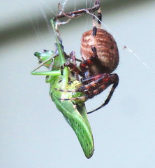 Spider with lunch! (Hayseed52) Tags: spider eating katydid web