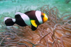 The clownfish (antony5112) Tags: bali sub diving underwater clown fish clownfish pesce pesci pagliaccio anemone sea mare
