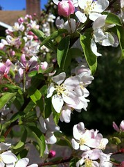 Primavera / Spring /Frhling (pbeppler) Tags: seattle wild primavera apple fruit washington spring flor stock sidewalk ornamental blte baum corderosa apfel apfelbaum crabapple calada florido ma rosinha plen fruteira rosado ptala frling stateofwashington ornamentaltree ebbl rosadinho rvoreornamental rosabranco eppl fruitingtree brancorosa caladadepasseio madomato apfelstock ppelstock pplstock bbelstock bblstock epplstock eppelstock ebbelstock ebblstock macieirasilvestre silvestrewildeapfelbaum ppl pplboom epplboom bbl bbleboom wildapfelblhte wildpplblihte wildapfelblumen flordemacieirabrava flordemacieirabraba macieirabrava holzbapfel holzppel holzppl holzeppel holzeppl holzbbl holzbbel fussgang macierabraba macieiraornamental