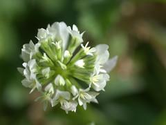 le piccole forme della natura (voyager7000) Tags: sardegna macro sardinia natura fiori prato insetti nuxis voyager7000