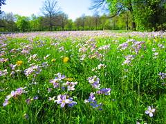 Wiese (Max Patzig) Tags: flowers field grass dresden saxony wiese blumen sachsen gras grasland grosergarten