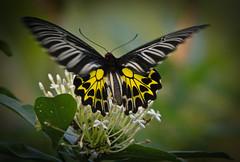Restless (Explore & Frontpage) (svenpetersen1965) Tags: butterfly thailand goldenbirdwing troidesaeacus