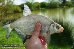 Bream - Abramis brama (puffinbytes) Tags: greatbritain england animals unitedkingdom carps bream essex animalia minnows cyprinidae cypriniformes chordates chordata actinopterygii rayfinnedfishes abramis abramisbrama taxonomy:kingdom=animalia taxonomy:phylum=chordata taxonomy:class=actinopterygii taxonomy:family=cyprinidae taxonomy:order=cypriniformes leuciscinae spb:lid=00an spb:country=uk spb:id=01f5 spb:species=abramisbrama spb:pty=f taxonomy:subfamily=leuciscinae taxonomy:genus=abramis taxonomy:species=brama taxonomy:binomial=abramisbrama taxonomy:common=bream spb:pid=0kcl