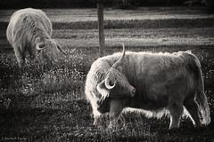 itch (Jen MacNeill) Tags: bw white black animal canon cow cattle farm horns scottish highland bovine grazing highqualityanimals