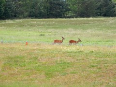 "Phoenix 2012 - Deer on Stickledown • <a style=""font-size:0.8em;"" href=""http://www.flickr.com/photos/8971233@N06/7155824457/"" target=""_blank"">View on Flickr</a>"
