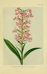 Anglų lietuvių žodynas. Žodis purple-fringed orchis reiškia violetinė-fringed orchis lietuviškai.