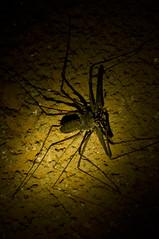 Phrynichus orientalis (Jellyfish Lifestyle) Tags: travel thailand photography spider nationalpark khaosok scorpionspider phrynichusorientalis