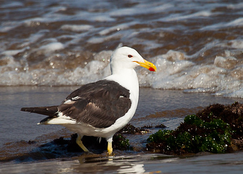 <p>Gulls can be pretty, you just have to see an adult. </p>