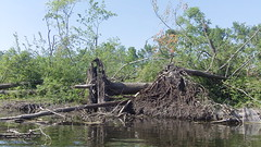 uprooted bank (Dave Garvin) Tags: trip river canoe damage tornado huron