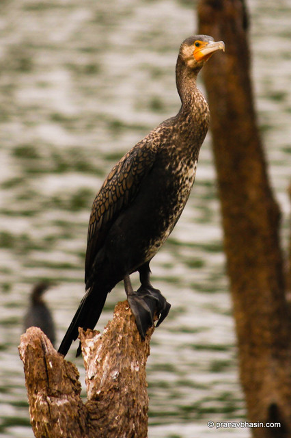 Great Cormorant (Phalacrocorax carbo) / Great Black Cormorant / Black Shag At Periyar Tiger Reserve, Thekkady