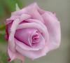 Pastel rose (Colin-47) Tags: pink white june rose soft purple pastel delicate 2012 unfurling 24105mml t2i floralappreciation amazingdetails sublimerose colincubitt