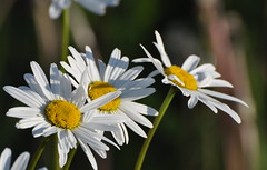 Scentless Chamomile (Cats 90) Tags: flower june daisies weed pretty alberta daisy fairview 2012 mayweed scentlesschamomile
