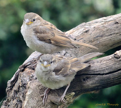 The Sisterhood (GemElle Photography - struggling to keep up) Tags: baby brown house tree nature sisters garden grey fight nikon feathers mother feeder chick sparrow housesparrow gemelle d3100 gemelle1