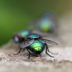 3 green flies , explored! (bugman11) Tags: macro green nature animal animals fauna canon bug insect fly niceshot nederland thenetherlands insects bugs flies 1001nights platinumheartaward naturesgreenpeace 100mm28lmacro mygearandme mygearandmepremium mygearandmebronze mygearandmesilver ringexcellence