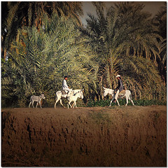 Take Me To The River (pixel_unikat) Tags: africa palms ride donkeys egypt rivernile