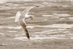 Gull with lamprey (Bargais) Tags: bird nature river spring gull latvia lamprey venta latvija kuldiga kuldīga