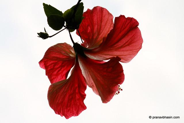 Hibiscus, Periyar Tiger Reserve, Thekkady